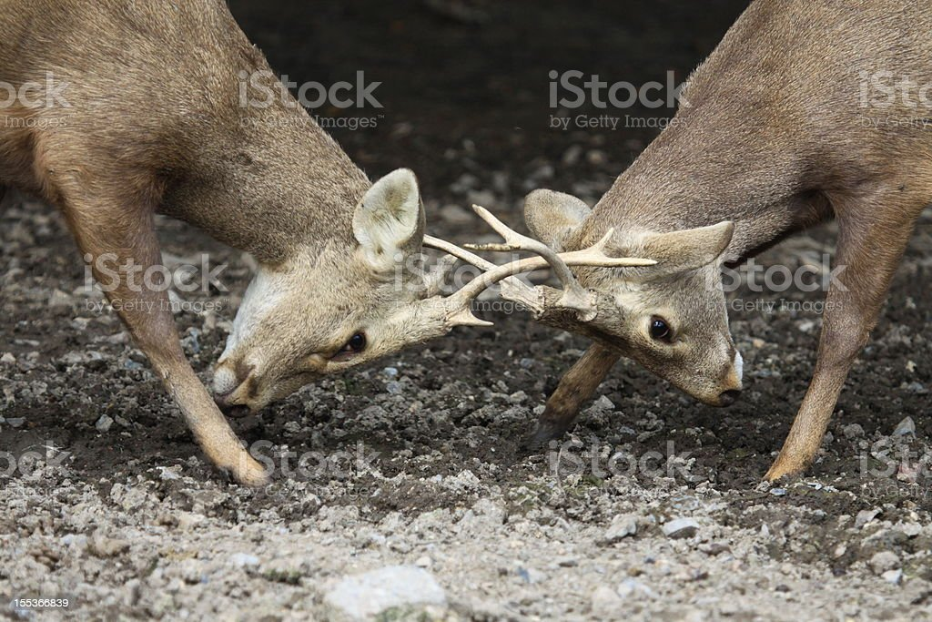 Close up two bucks fighting royalty-free stock photo
