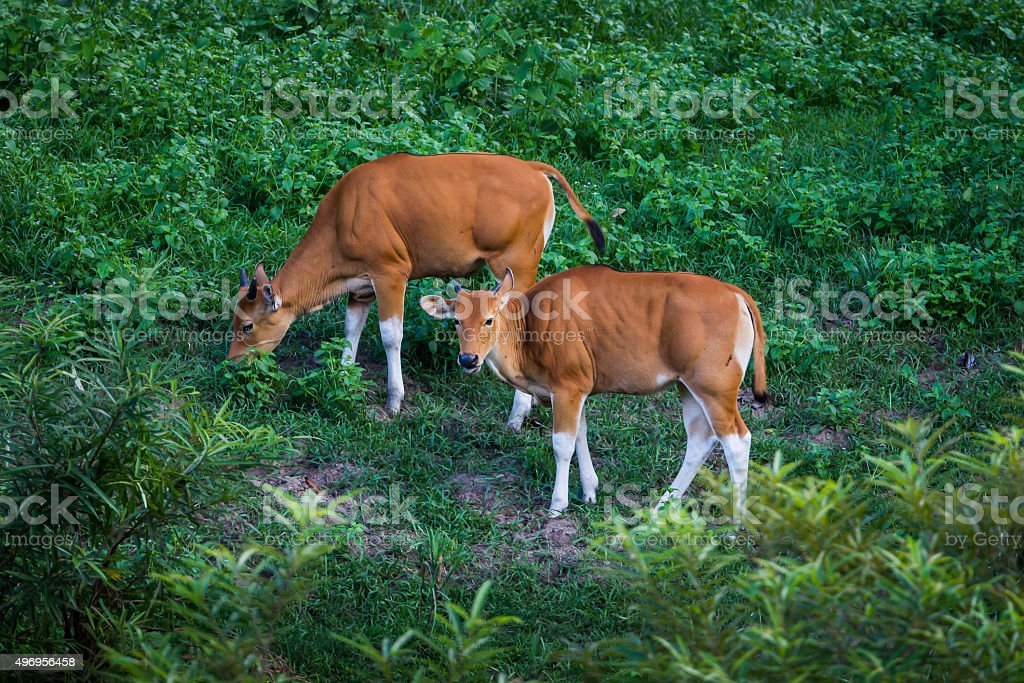 Close up two cubs of  Banteng (Bos javanicus) stock photo