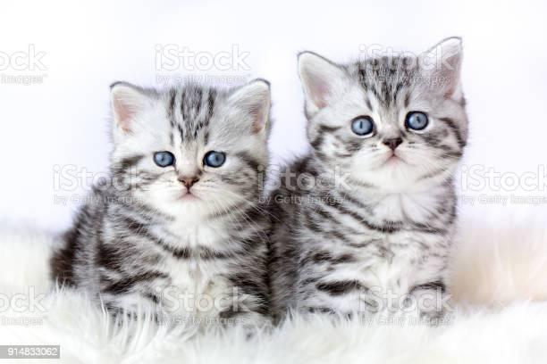Close up two silver tabby kittens on fur picture id914833062?b=1&k=6&m=914833062&s=612x612&h=jjdvkylfqmdr0xtq1bo5lzfp kqywejewgcu2uxm5ma=
