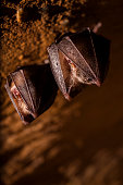 istock Close up two small sleeping horseshoe bat covered by wings, hanging upside down on top of cold natural rock cave while hibernating. 1047762560