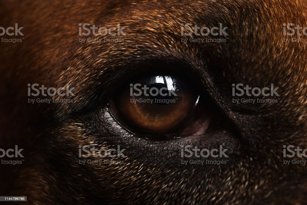 Close-up portrait of Rhodesian Ridgeback Dog\'s eye looking at camera