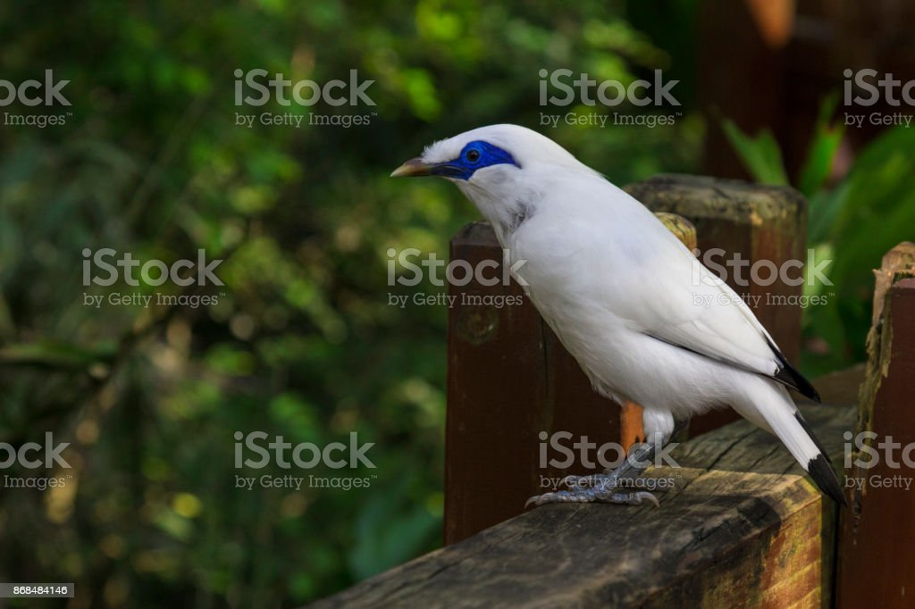Close up view of a Bali Mynah bird perched on a wooden fence. stock photo