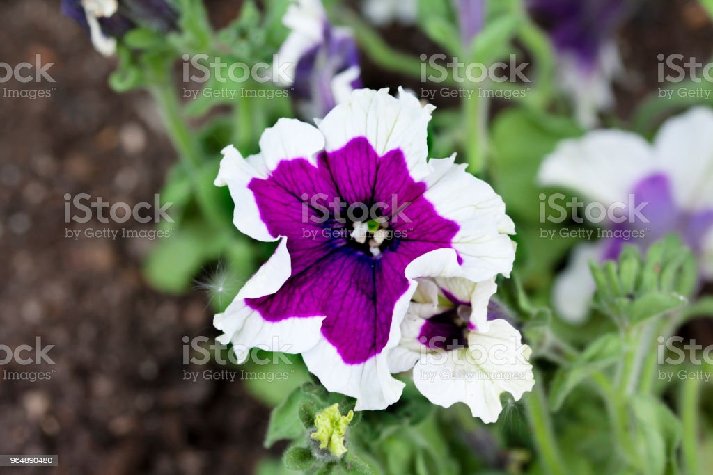 Close up view of a beautiful purple and white petunia flowers. royalty-free stock photo