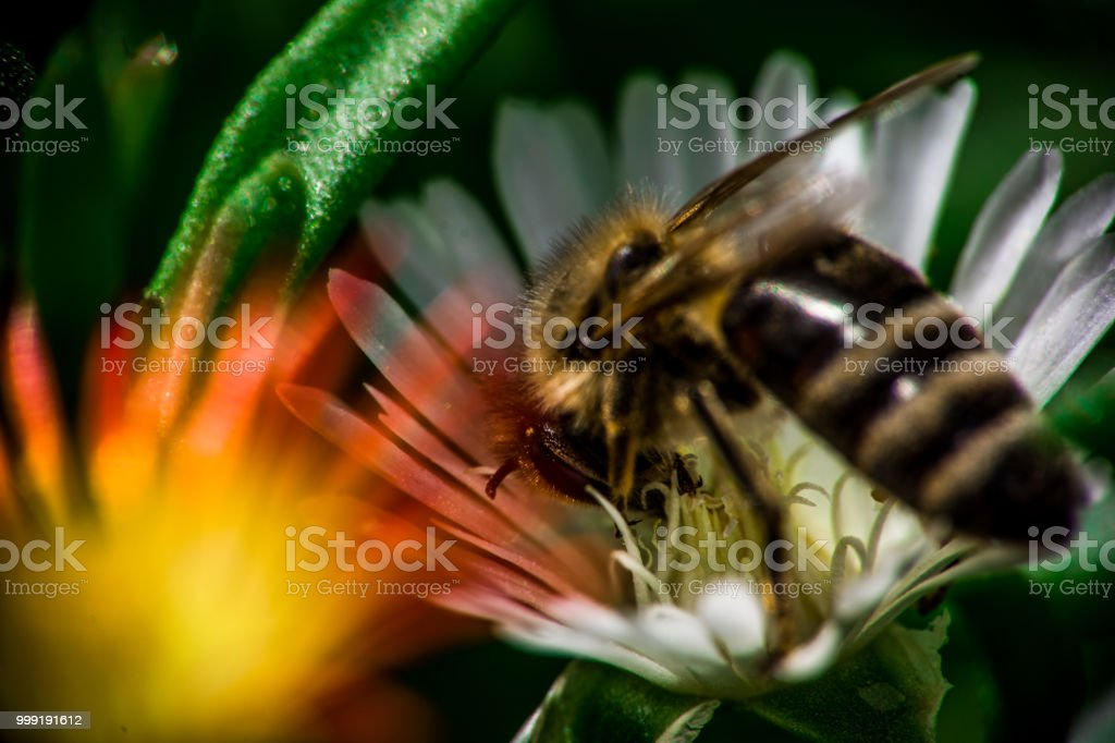 Close up view of a bee in the garden. stock photo