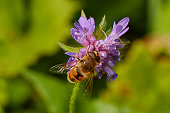 Close up view of a bee on violet flower petals.