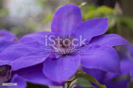 Close up view of a blooming, purple clematis flower