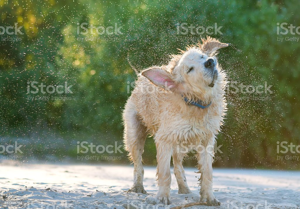 Close up view of a golden labrador shaking sea water stock photo