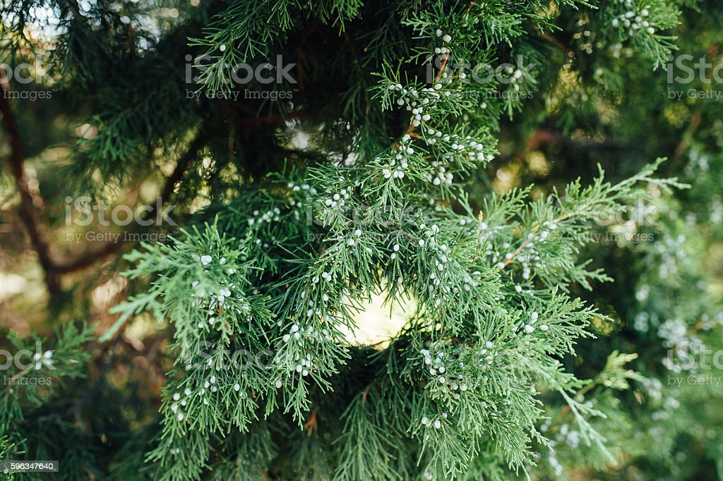 Close up view of a pine branch royalty-free stock photo