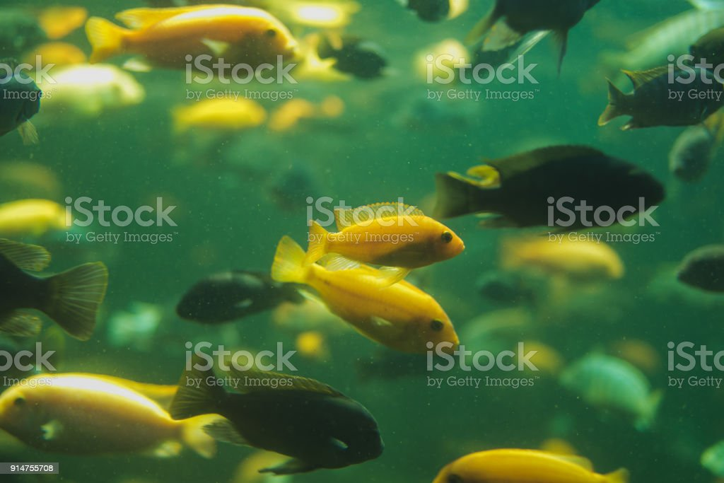 Close up view of a school of malawi cichlid in an aquarium stock photo