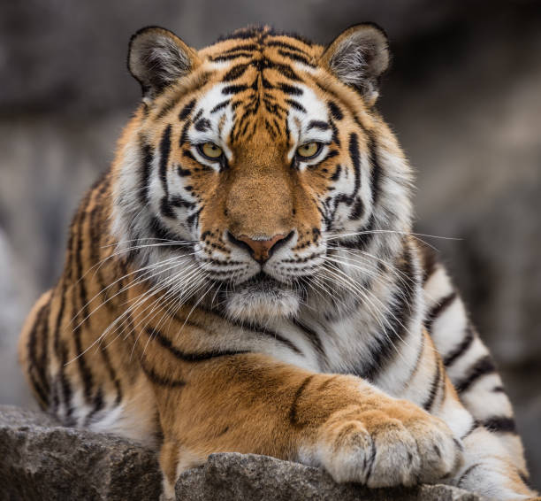 close up view of a siberian tiger (panthera tigris altaica) - tiger stock photos and pictures