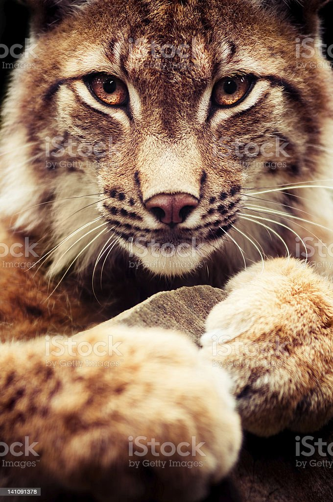 A close up view of a wild lynx cat in the wild stock photo