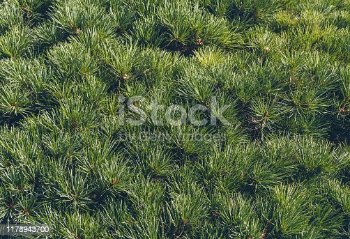 close up view of abundant fir tree foliage background in sunlight