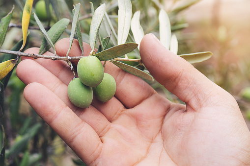 istock Close up view of an olive pickers' hand picking ripe olives from a tree 1168610270