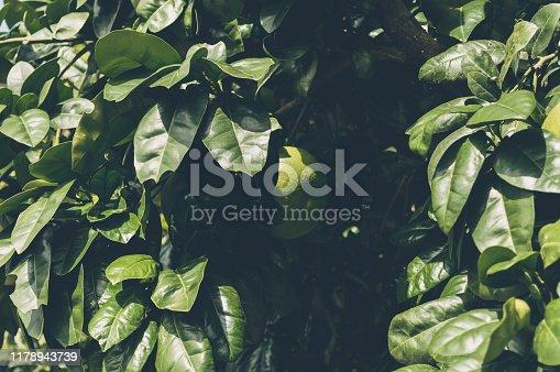 close up view of beautiful abundant foliage of citrus tree at jeju island