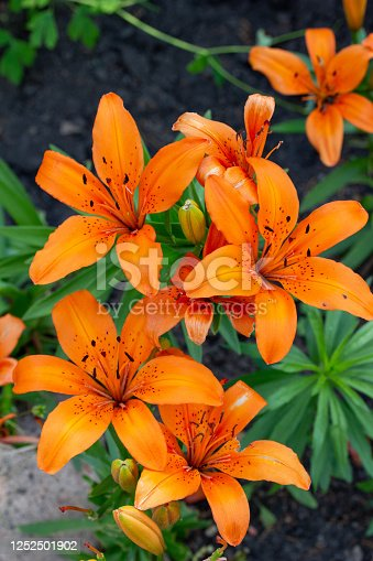 This image shows a close up view of beautiful orange asiatic lilies  (rudbeckia) flower daisies in an outdoor garden.