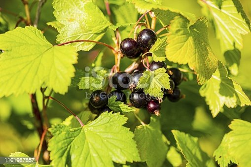 istock Close up view of black currant isolated. Black berries and green leaves in focus. 1161987857