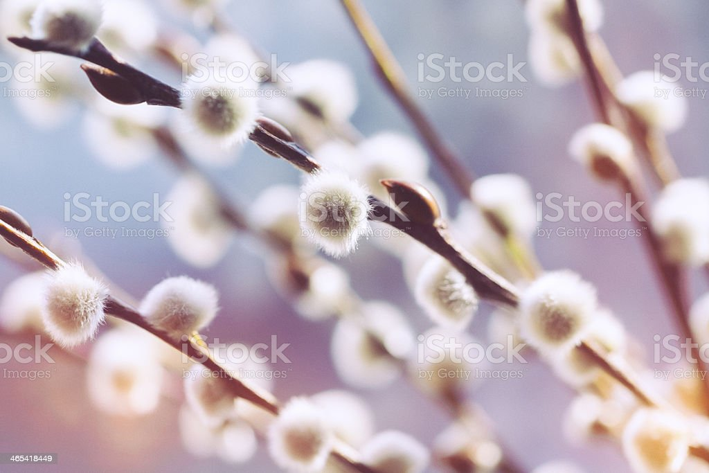 Close up view of catkin with blurred background stock photo