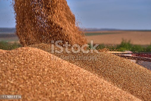 Close up view of combine harvester pouring a tractor-trailer with sorghum during harvesting. Harvest season sorghum in summer. Sunny blue sky and copy space.