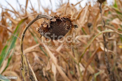 Close UP View of Dried up Sun Flower Curved to the Ground