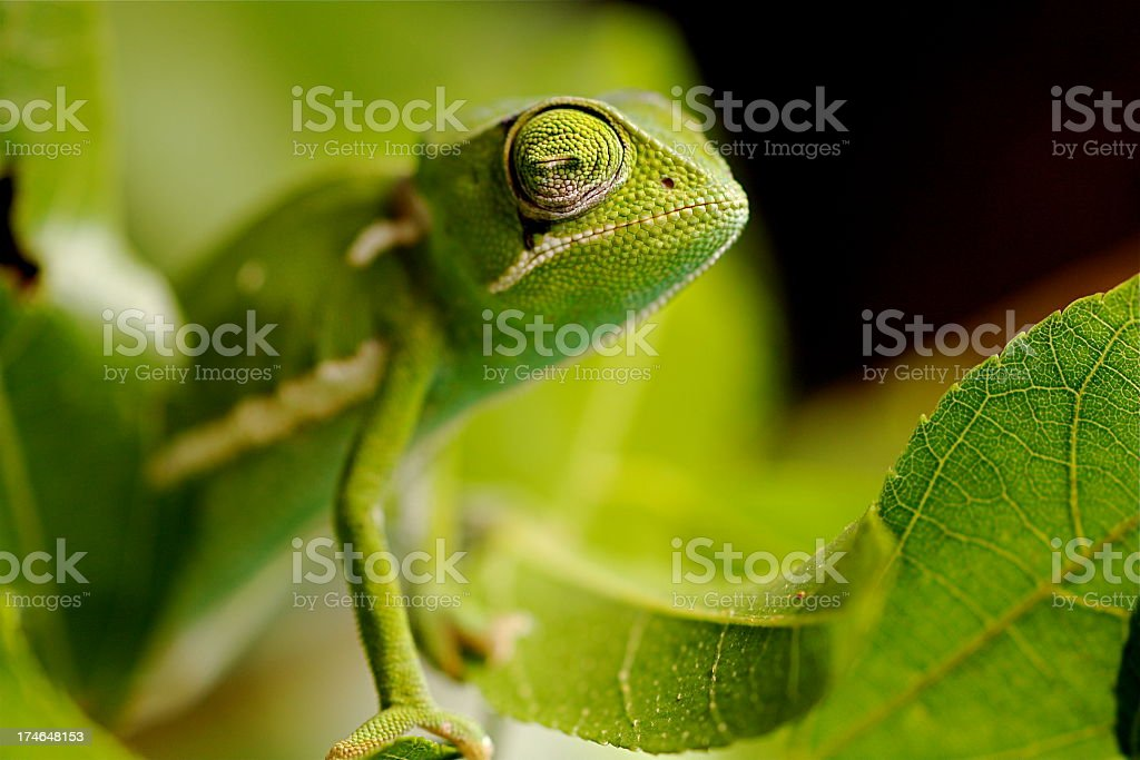 Close up view of flap necked Chameleon stock photo