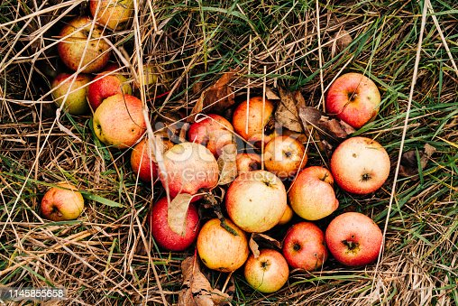 Close up View of fresh windfall Apples on the Ground