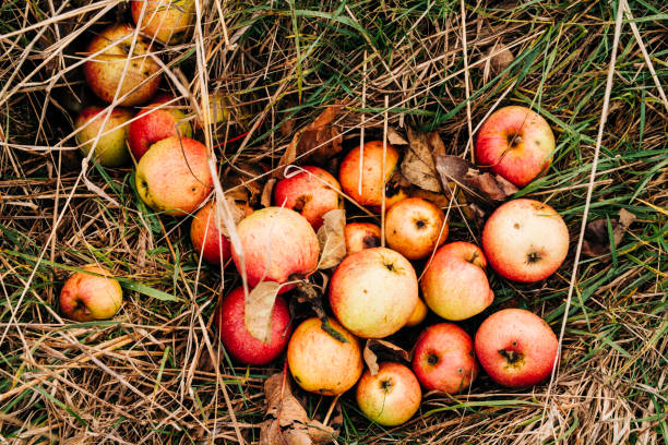 Close up View of fresh windfall Apples on the Ground stock photo