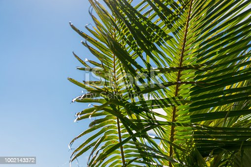 istock close up view of green leaves of palm tree and blue sky, ubud, bali, indonesia 1002143372