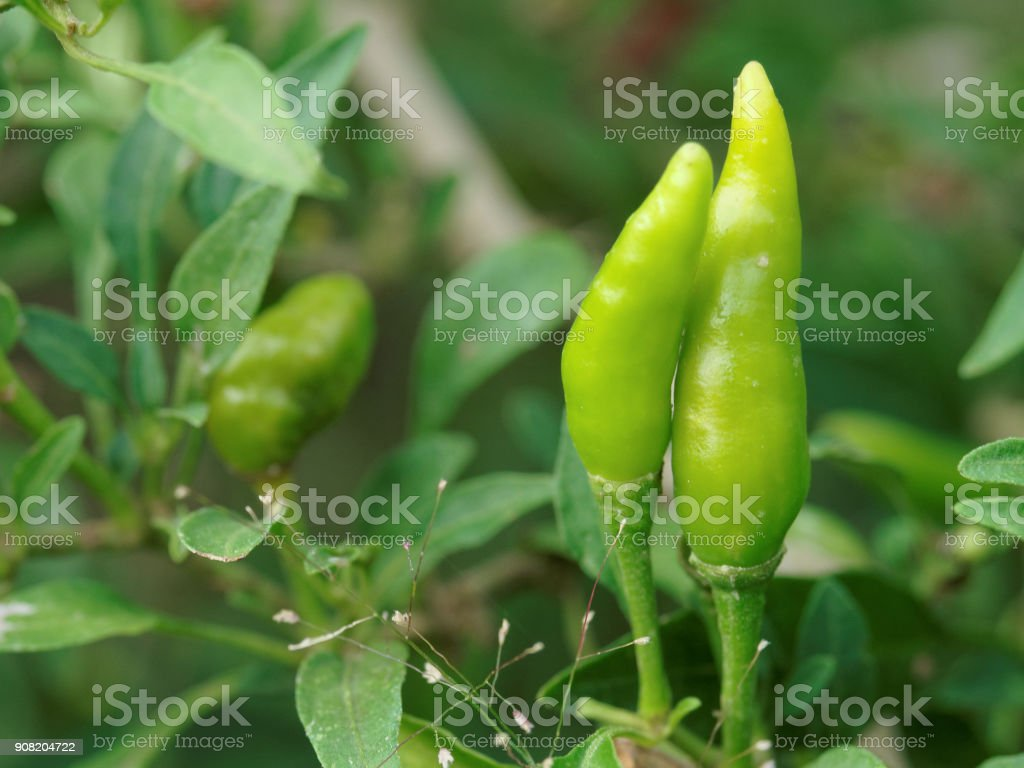 Close up view of green organic chili pepper on the tree with shallow depth of field stock photo