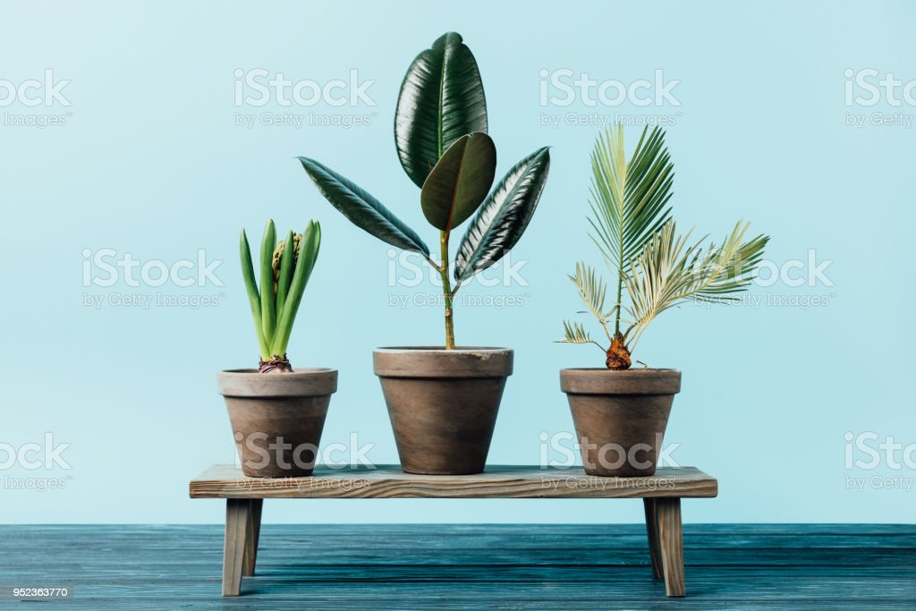 close-up vista de plantas verdes em vasos banco decorativo de madeira isoladas em azul - foto de acervo