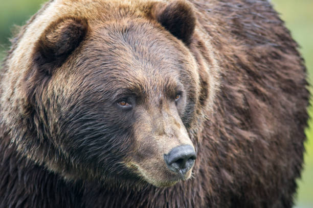 Close Up View of Grizzly Bear stock photo