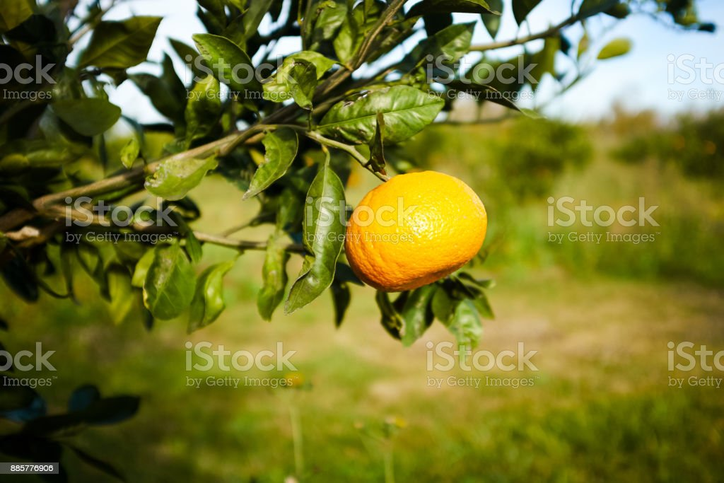 Close up view of orange fruit on tree branch stock photo