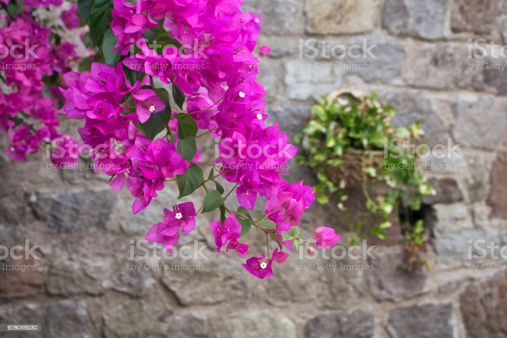 Close up view of pink / violet bougainvillaea with stone wall background – zdjęcie