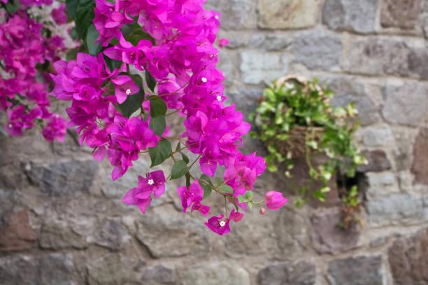 Cerrar vista de rosado / violeta buganvilla con fondo de muro de piedra - foto de stock