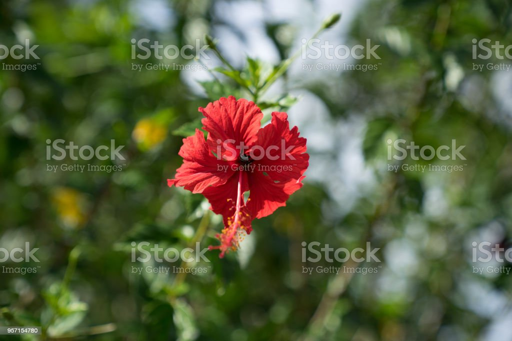 Close Up View Of Red Hibiscus Flower Or Shoe Flower On Green Leaves