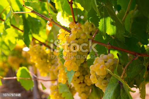 Close up view of ripe grapes in vineyard with blurred background
