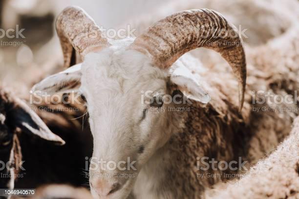 Close up view of sheep grazing with herd in corral at farm picture id1046940570?b=1&k=6&m=1046940570&s=612x612&h=erz77gego9cou38imyff0wiknalkchx76ci6uci3tsg=
