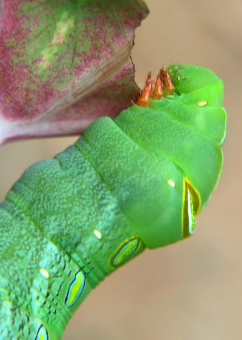 close up view of small colorful caterpillar, lava seen in a home garden in Sri Lanka