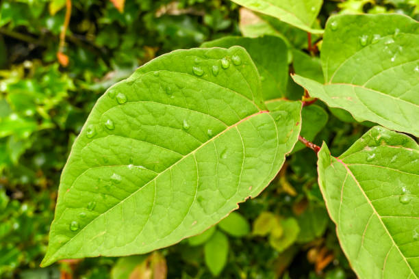 close up view of the leaves of japanese knotweed - japanese knotweed stock pictures, royalty-free photos & images