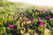 Hiking through the scenic mountain valley with beautiful pink flowers in the wilderness in Carpathian Mountains