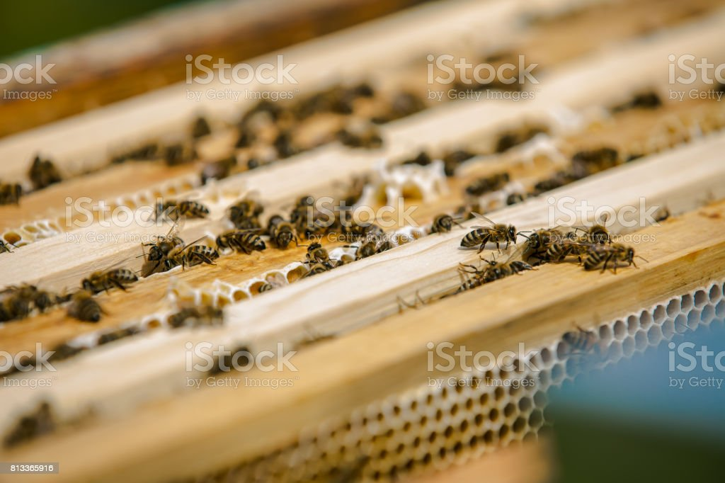 Close up view of the working bees on honey cells. Working bees on honeycomb. Bees on honeycombs stock photo