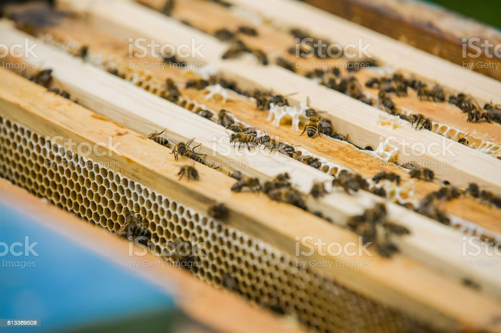 Close up view of the working bees on honey cells. Working bees on honeycomb. Bees on honeycombs. Frames of a bee hive stock photo