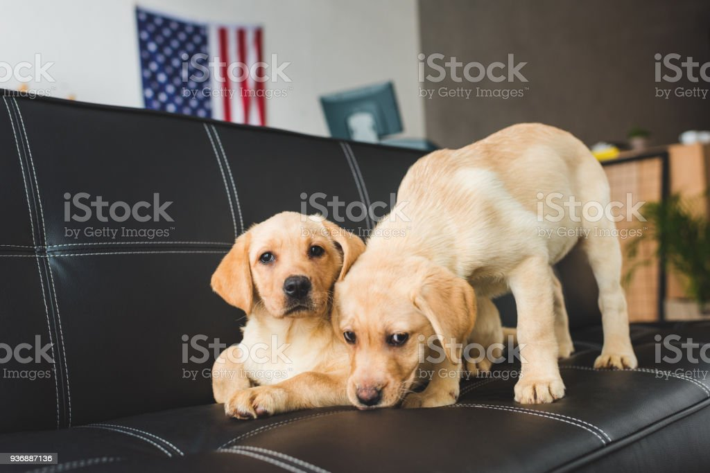 Close up view of two beige puppies on leather couch stock photo