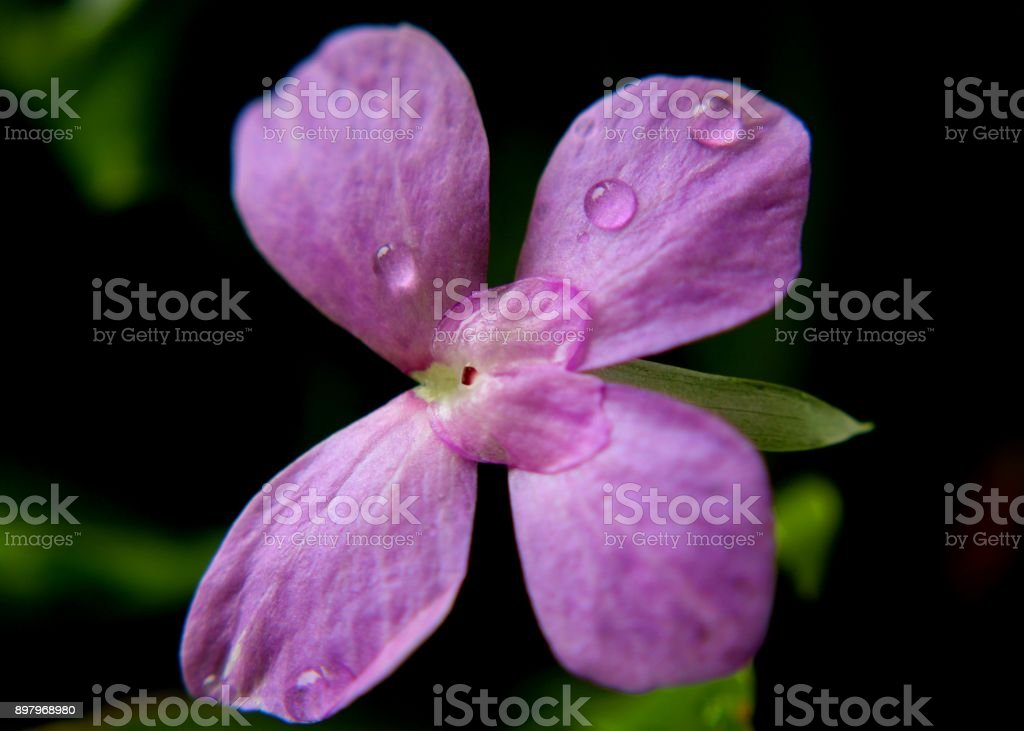 Close up view of water drops on a purple color flower petals found in a home garden in Sri Lanka stock photo