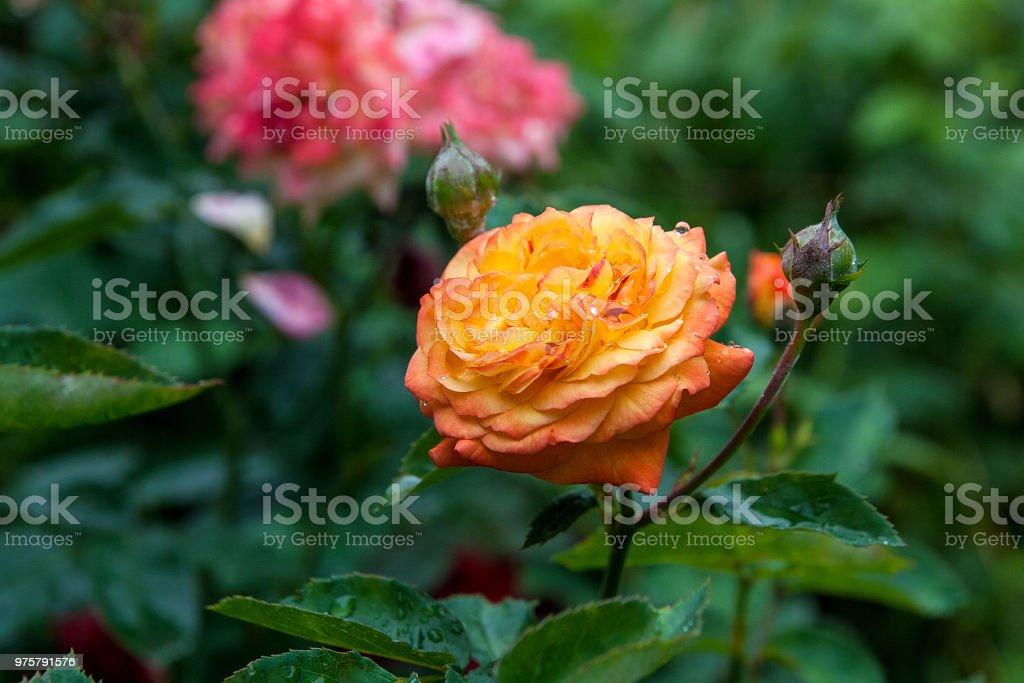 Nahaufnahme der gelbe rose Blume - Lizenzfrei Baumblüte Stock-Foto