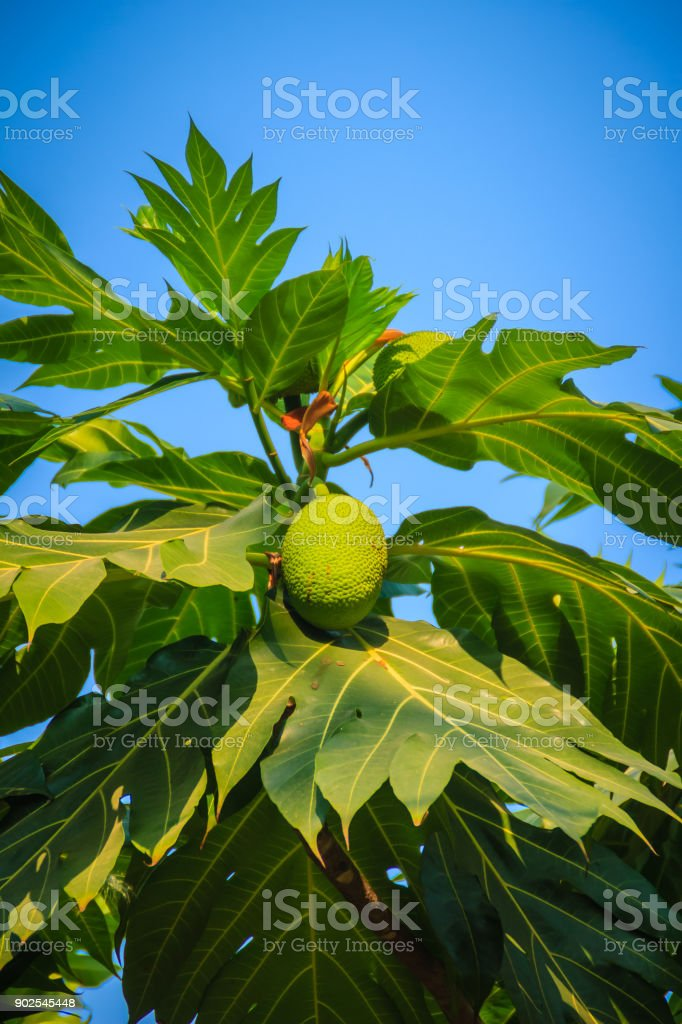 Close up view of young green breadfruit (Artocarpus altilis) fruit on tree with green leaves. Bread fruit tree originated in the South Pacific and was eventually spread to the rest of Oceania. stock photo