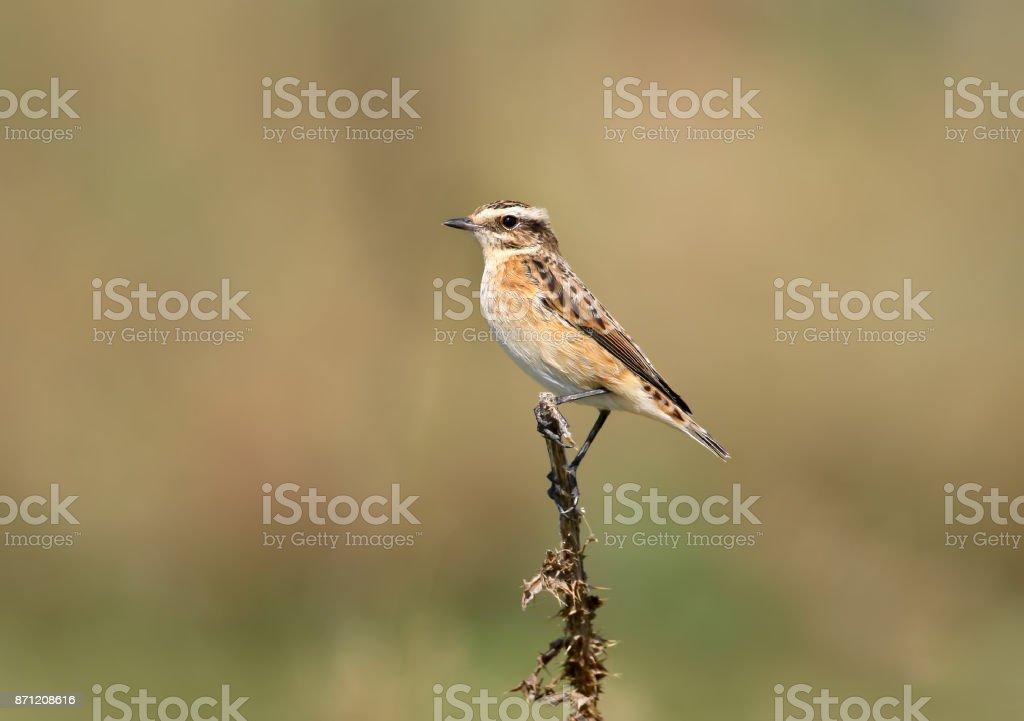 Close up view on a female whinchat (Saxicola rubetra) on the blurred beige background stock photo