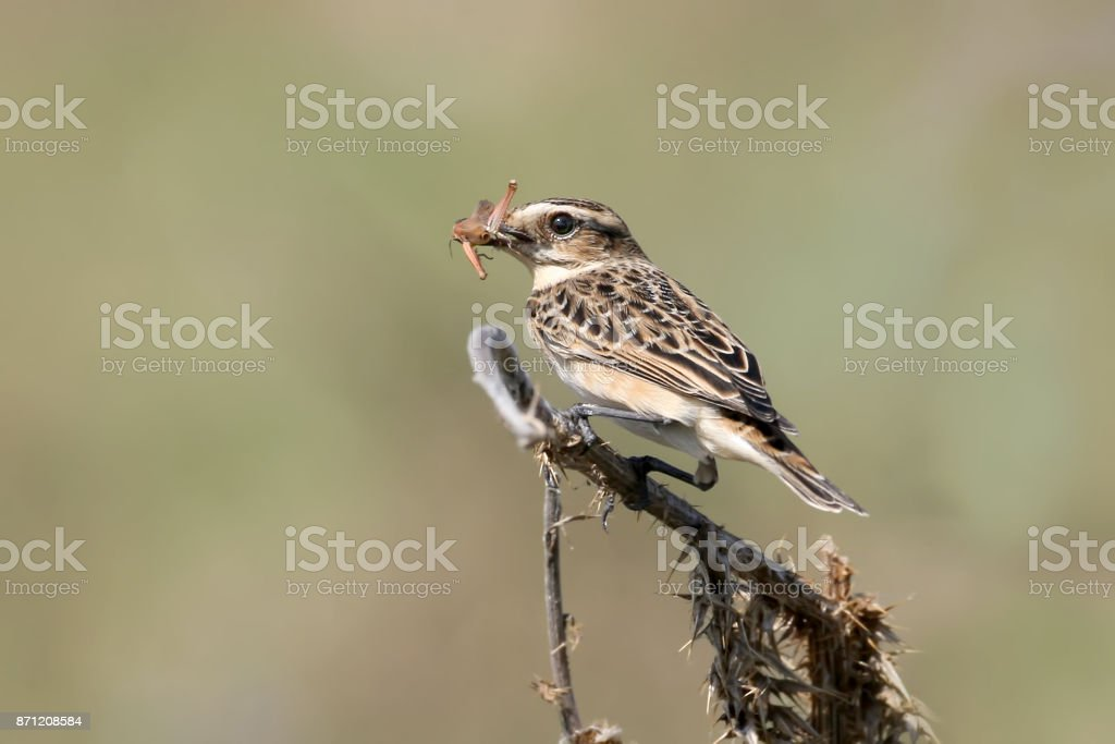 Close up view on a female whinchat (Saxicola rubetra) with a grasshoper in beak. stock photo