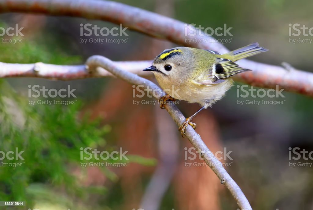 Close up view on Goldcrest on the tree. stock photo