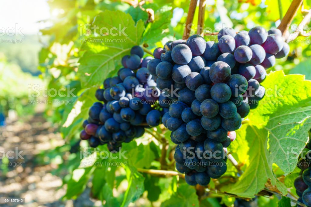 Close up vine grapes in champagne region in autumn harvest, Reims, France stock photo