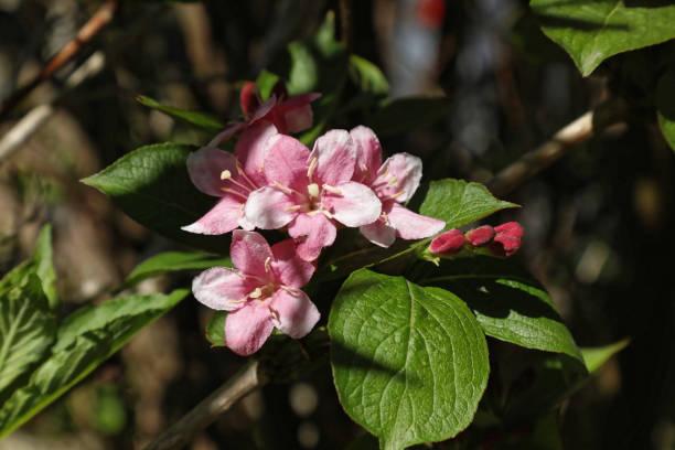 Close up Weigela florida minuet flowers